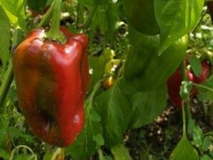 פלפל אדום אורגני