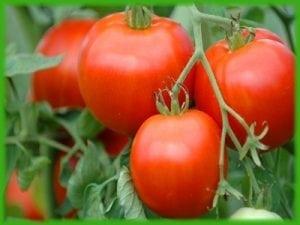 עגבניה אשכולות אורגנית