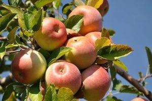 תפוח פינק ליידי אורגני
