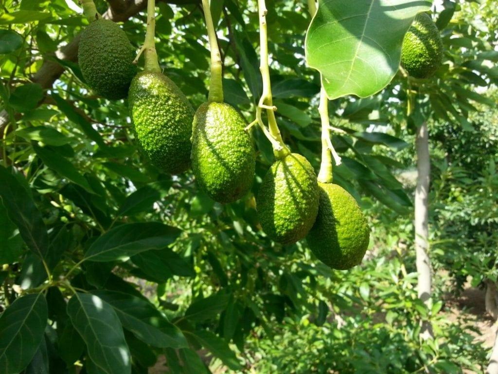 עץ אבוקדו אורגני