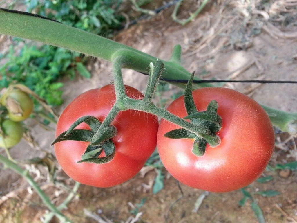 עגבניות אורגנים מהערבה