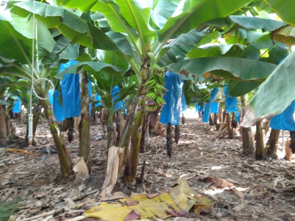 מטע בננות אורגניות