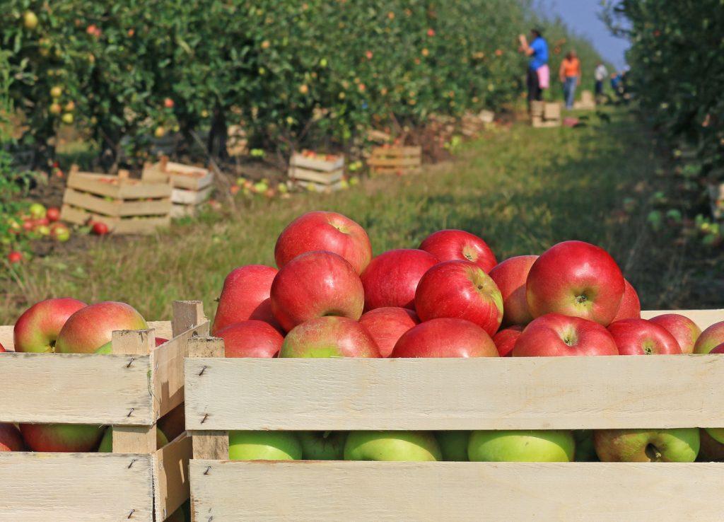 מטע תפוחים אורגניים