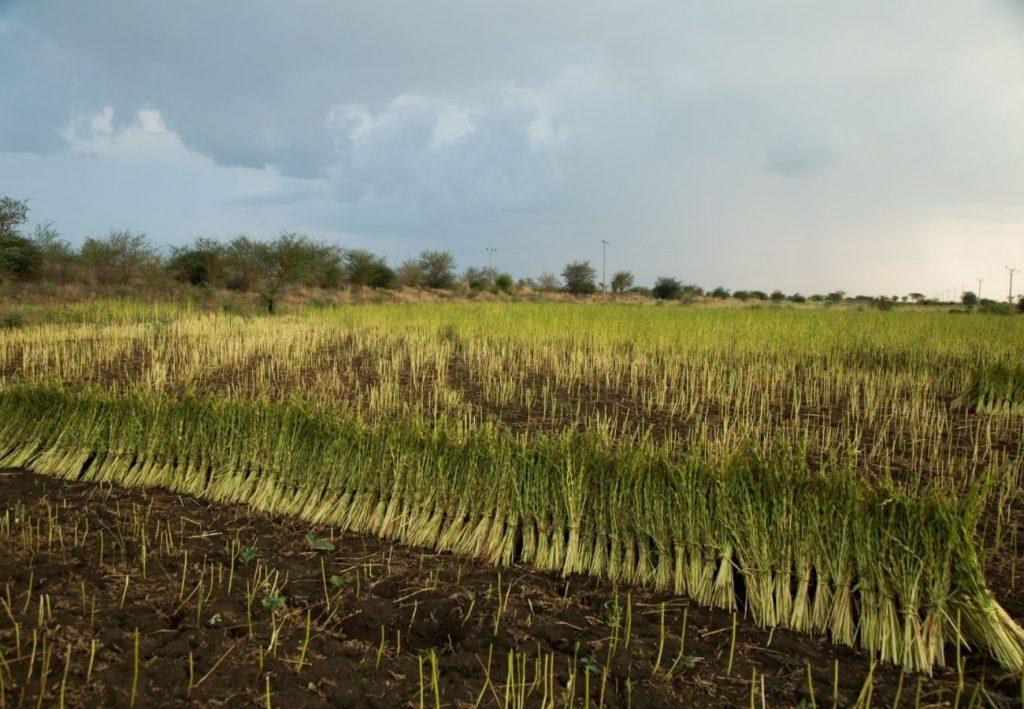 שדה שומשום אורגני